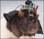 SUNY's Robo-rat (photo by Catherine Chalmers in NYTimes)